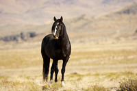 Wild horse near Simpson Springs