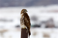 Hawk in Lake Point