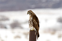 Hawk near Tooele