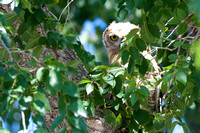 Owl in Stansbury Park